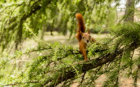 Picture forest, tree, branch, protein, pine