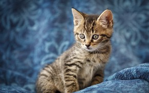 Picture cat, look, kitty, grey, baby, muzzle, kitty, striped, blue background