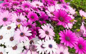 Wallpaper flowers, summer, pink, pink, flowers