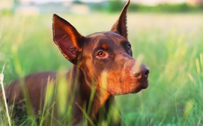 Picture each, dog, weed, Doberman