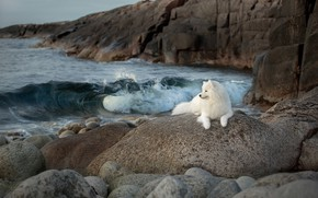 Picture sea, stones, rocks, dog, Samoyed, Svetlana Pisareva