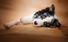 Picture look, face, stay, dog, paws, The border collie