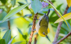 Picture branches, bird, Japanese white-eye