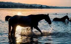 Picture summer, sunset, horses, the evening, horse, bathing, silhouettes, pond