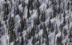 Picture winter, snow, spruce, slope, Canada, Yoho national Park