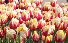 Picture flowers, Rosa, tulips, flowering