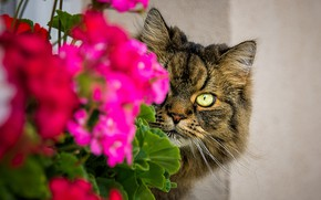 Picture cat, cat, look, face, flowers, eyes, grey, wall, portrait, pink, grey, striped, striped, Peeps