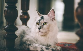 Picture cat, white, cat, look, face, background, room, furniture, portrait, lies, legs, the room, breed, spotted, …