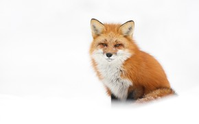 Picture winter, snow, Fox, the snow, white background, red