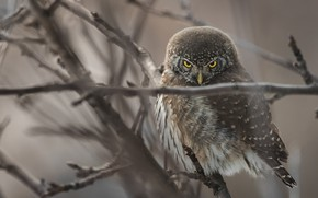 Picture branches, tree, owl, bird, grey background, owl
