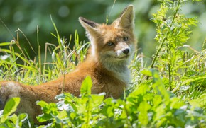 Picture grass, red, Fox