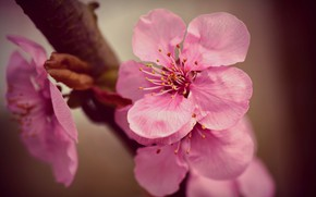 Picture cherry, branch, spring, flowering