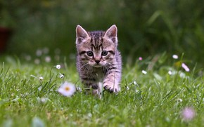 Picture grass, kitten, cat