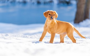 Picture winter, snow, dog, puppy, Labrador Retriever