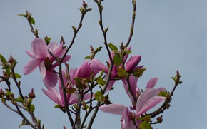 Picture the sky, branches, mediocrity, Magnolia