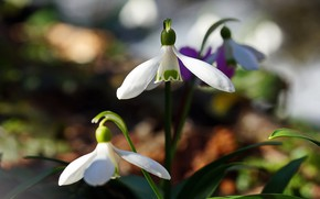 Picture flowers, nature, spring, snowdrops, primroses