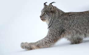 Picture snow, paw, lynx, wild cat