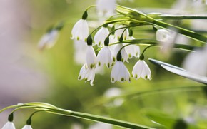 Picture flowers, spring, snowdrops, green background, bokeh