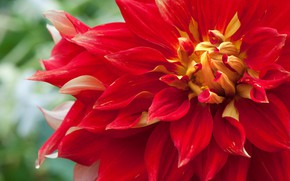Picture macro, red, Dahlia