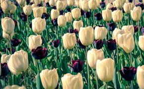 Picture flowers, spring, garden, tulips, white, buds, a lot, dark, plantation, Tulip field