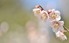 Picture flowers, sprig, background, tenderness, spring, Sakura, bokeh