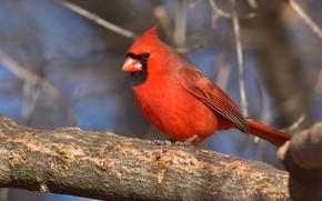 Picture branches, background, bird, branch, bird, bokeh, cardinal, bright, red cardinal