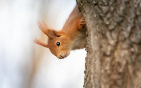 Picture nature, pose, tree, protein, light background, Peeps, rodent
