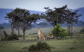 Picture cats, nature, cheetahs