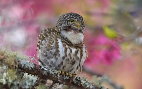 Picture background, pink, bird, branch, spring, flowering, owl, sychik