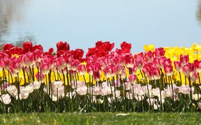 Picture light, flowers, shore, spring, yellow, tulips, red, white, buds, flowerbed, pond, a lot