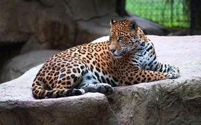 Picture look, pose, stones, background, paws, lies, Jaguar, zoo