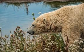 Picture white, look, face, water, flowers, nature, shore, portrait, plants, bear, bear, polar bear, pond, polar