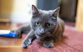 Picture cat, cat, look, face, grey, room, portrait, smoky, Palace