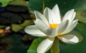 Picture white, petals, Lotus
