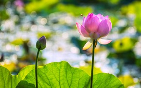 Picture flower, leaves, light, flowers, pond, bee, pink, stems, OSA, petals, Bud, Lotus, insect, light background, …
