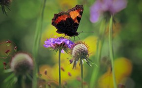 Picture summer, macro, flowers, nature, butterfly, urticaria