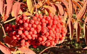 Picture autumn, berries, brush, Rowan