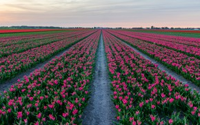 Picture field, the sky, flowers, spring, tulips, pink, the ranks, field of tulips, paths, plantation, Tulip …