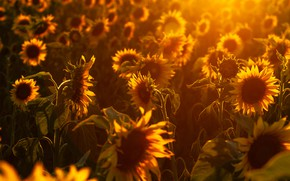 Picture summer, light, sunflowers, nature
