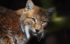Picture look, face, close-up, the dark background, portrait, lynx