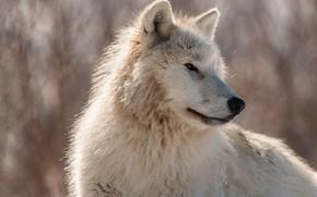 Picture white, look, face, nature, pose, background, wolf, portrait, profile, bokeh, Arctic, polar