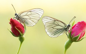Picture macro, butterfly, flowers, insects, background, butterfly, two, roses, pair, red, white, a couple, Duo, buds, …