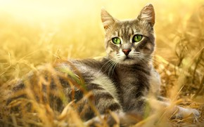 Wallpaper cat, grass, cat, look, light, nature, pose, background, stay, glade, portrait, lies, grey, face, striped, ...