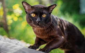 Picture cat, cat, look, pose, background, portrait, paws, Board, brown, bokeh, yellow eyes