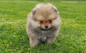 Picture grass, dog, puppy, face, brown, Spitz