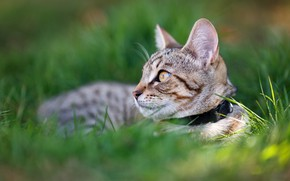 Picture cat, grass, cat, look, kitty, lies, collar, kitty, face