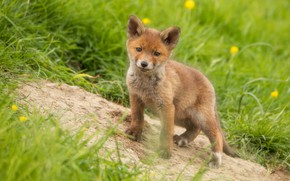Picture summer, grass, look, flowers, nature, pose, spring, slope, baby, Fox, face, Fox, Fox, hill