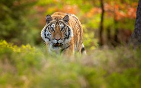 Picture forest, tiger, bokeh, Siberian tiger