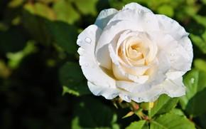 Picture flower, leaves, drops, light, Rosa, background, dark, rose, garden, Bud, white, water drops