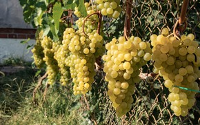 Picture grapes, bunches of grapes, желтый виноград